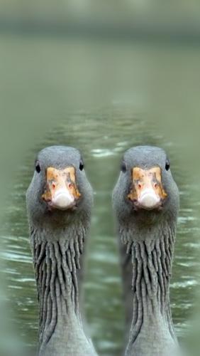 Deux oies. Photo: PHB