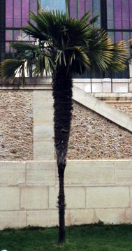 """Palmier """"haut"""" au Jardin des Plantes. Photo: Guillemette de Fos"""