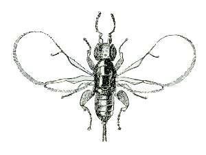 Le blatosphaga. Source image: Wikipedia