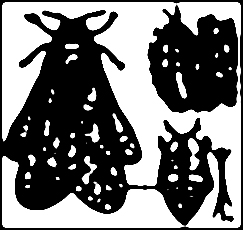 Phylloxera stylisé